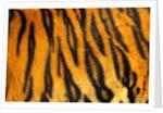 Bengal Tiger Skin Pattern by Corbis