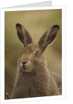 Mountain Hare with Summer Coat by Corbis