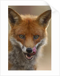 Red Fox Licking its Lips by Corbis