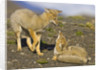 Two Paragonian Grey Fox Pups Playing by Corbis