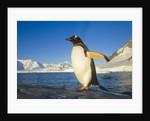Gentoo Penguin Walking on Coastal Rock by Corbis