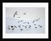 Flock of Dominican Gulls on Iceberg by Corbis