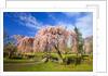Footbridge Between Cherry Trees in Bloom by Corbis