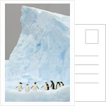 Gentoo and Chinstrap Penguins on Iceberg in Gerlache Strait by Corbis