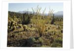 The Sonoran Desert at Sunrise by Corbis