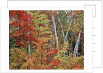 Maples and Birches in Autumn by Corbis