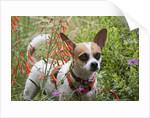 Chihuahua Dog by Corbis