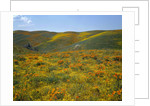 California Poppies Among Goldfields by Corbis