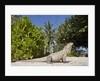 Lesser Caymans Iguana by Corbis