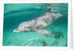 Bottlenosed Dolphin at UNEXSO Dive Site by Corbis