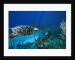 Hawksbill Turtle Swimming above Reef by Corbis
