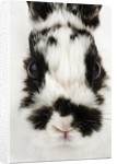 Face of Jersey Wooly Rabbit by Corbis