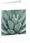 Agave Plant by Corbis