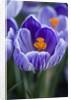 Crocus Pickwick Flower by Corbis