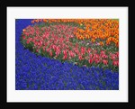 Grape Hyacinths and Tulips by Corbis