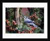 Blue Jay by Corbis
