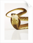 Snouted Cobra by Corbis