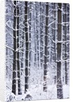 Snow-covered Trees in Forest by Corbis