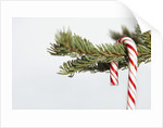 Candy cane hanging on Christmas tree branch by Corbis