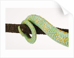 Veiled Chameleon Tail Wrapped Around Twig by Corbis