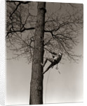1940s Man Worker Tree Surgeon Climbing Elm Tree Trunk With Trim Saw Pruning Trimming Branches Limbs by Corbis