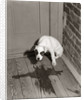 1950s Sad Dog In Corner Ashamed House Training Accident Wooden Floor by Corbis