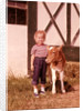 1950s 1960s Girl Rolled Up Denim Jeans With Guernsey Calf Outside Barn by Corbis