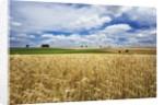 Wheat Field Under Cloud Filled Sky by Corbis