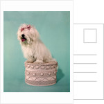 1970s White Shaggy Dog Pink Bow and Pink Tongue by Corbis