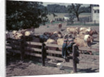 1950s Boy Girl Wearing Jeans Striped Tee Shirt Sit On Fence Dairy Farm Look At Guernsey Cows by Corbis