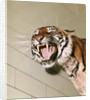 1960s Portrait Roaring Snarling Growling Mean Sumatra Tiger In Zoo Cage by Corbis