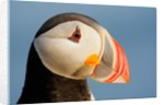 Close-Up of Atlantic Puffin by Corbis