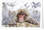 Japanese Snow Monkey in Hot Spring in Winter by Corbis