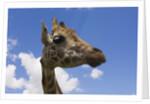 Baringo Giraffe at Giraffe Manor in Nairobi by Corbis