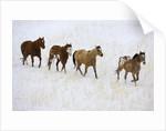 American Quarter Horses in Winter by Corbis