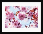 Cherry Blossom Flowers by Corbis