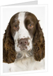 Springer Spaniel by Corbis