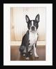 Boston terrier by Corbis