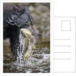 Black Bear Catching Chum Salmon in Alaska by Corbis