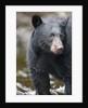 Black Bear in Rainforest in Alaska by Corbis
