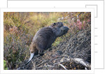 Beaver in Denali National Park by Corbis