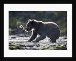 Brown Bear Fishing for Salmon in Alaska by Corbis