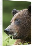 Brown Bear Feeding in Misty Fjords National Monument by Corbis