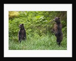 Brown Bears Standing on Baranof Island by Corbis