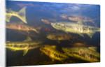 Spawning Chum Salmon in Alaska by Corbis