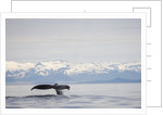 Tail Fluke of Diving Humpback Whale in Frederick Sound by Corbis