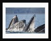 Humpback Whales Feeding in Icy Strait by Corbis