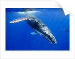 Humpback Whale Underwater by Corbis