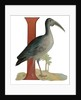 I Is For Ibis Illustration by Corbis