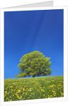 European Beech Tree in Meadow of Dandelions by Corbis